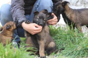 Belgian-Malinois-Puppies-BTWW-H-Litter-180319-0045