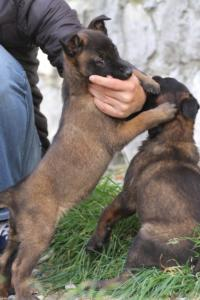 Belgian-Malinois-Puppies-BTWW-H-Litter-180319-0046