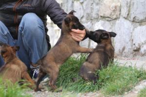 Belgian-Malinois-Puppies-BTWW-H-Litter-180319-0047