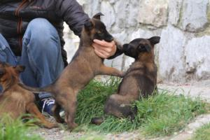 Belgian-Malinois-Puppies-BTWW-H-Litter-180319-0048