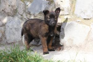 Belgian-Malinois-Puppies-BTWW-H-Litter-180319-0049