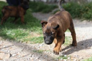 Belgian-Malinois-Puppies-BTWW-H-Litter-180319-0063