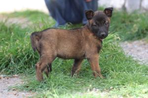 Belgian-Malinois-Puppies-BTWW-H-Litter-180319-0064