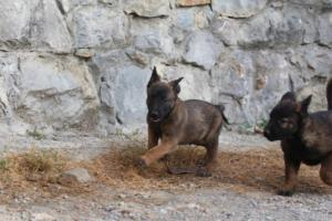 Belgian-Malinois-Puppies-BTWW-H-Litter-180319-0067