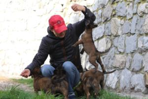 Belgian-Malinois-Puppies-BTWW-H-Litter-180319-0072
