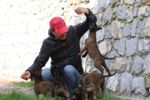 Belgian-Malinois-Puppies-BTWW-H-Litter-180319-0073