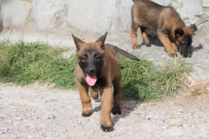 Belgian-Malinois-Puppies-BTWW-H-Litter-180319-0075