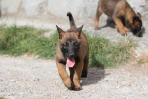 Belgian-Malinois-Puppies-BTWW-H-Litter-180319-0076
