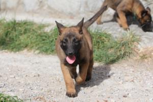 Belgian-Malinois-Puppies-BTWW-H-Litter-180319-0077