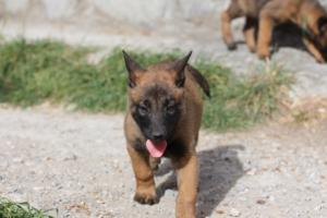 Belgian-Malinois-Puppies-BTWW-H-Litter-180319-0078