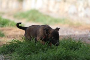 Belgian-Malinois-Puppies-BTWW-H-Litter-180319-0081