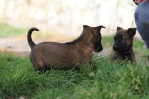 Belgian-Malinois-Puppies-BTWW-H-Litter-180319-0082