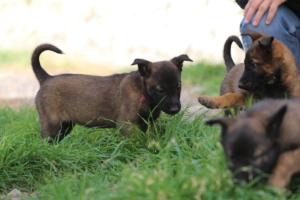 Belgian-Malinois-Puppies-BTWW-H-Litter-180319-0083