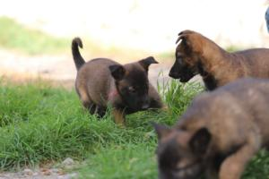 Belgian-Malinois-Puppies-BTWW-H-Litter-180319-0084