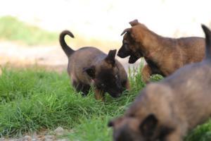 Belgian-Malinois-Puppies-BTWW-H-Litter-180319-0085
