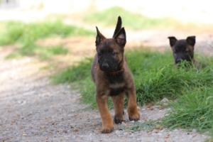 Belgian-Malinois-Puppies-BTWW-H-Litter-180319-0086