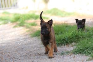 Belgian-Malinois-Puppies-BTWW-H-Litter-180319-0087