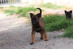 Belgian-Malinois-Puppies-BTWW-H-Litter-180319-0088