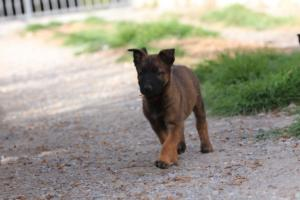 Belgian-Malinois-Puppies-BTWW-H-Litter-180319-0089