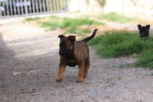 Belgian-Malinois-Puppies-BTWW-H-Litter-180319-0090
