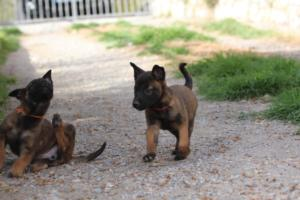 Belgian-Malinois-Puppies-BTWW-H-Litter-180319-0091