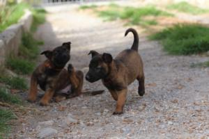 Belgian-Malinois-Puppies-BTWW-H-Litter-180319-0092