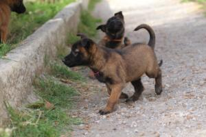 Belgian-Malinois-Puppies-BTWW-H-Litter-180319-0094