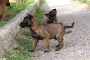 Belgian-Malinois-Puppies-BTWW-H-Litter-180319-0095