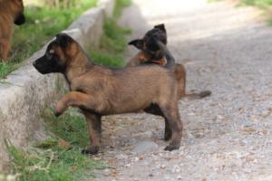 Belgian-Malinois-Puppies-BTWW-H-Litter-180319-0096