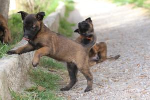 Belgian-Malinois-Puppies-BTWW-H-Litter-180319-0097