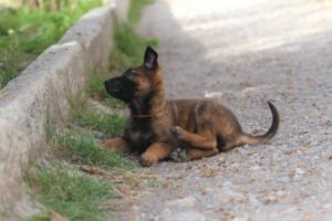 Belgian-Malinois-Puppies-BTWW-H-Litter-180319-0098