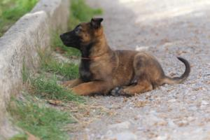 Belgian-Malinois-Puppies-BTWW-H-Litter-180319-0099