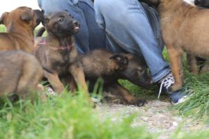 Belgian-Malinois-Puppies-BTWW-H-Litter-180319-0100