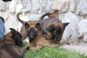 Belgian-Malinois-Puppies-BTWW-H-Litter-180319-0101