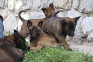 Belgian-Malinois-Puppies-BTWW-H-Litter-180319-0102