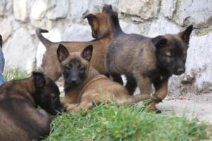 Belgian-Malinois-Puppies-BTWW-H-Litter-180319-0103