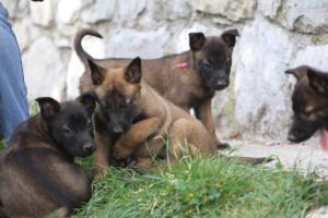 Belgian-Malinois-Puppies-BTWW-H-Litter-180319-0104
