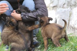 Belgian-Malinois-Puppies-BTWW-H-Litter-180319-0106