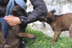 Belgian-Malinois-Puppies-BTWW-H-Litter-180319-0107