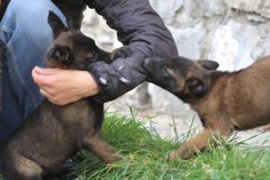 Belgian-Malinois-Puppies-BTWW-H-Litter-180319-0108