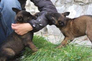 Belgian-Malinois-Puppies-BTWW-H-Litter-180319-0109
