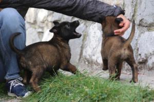 Belgian-Malinois-Puppies-BTWW-H-Litter-180319-0110