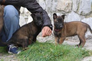 Belgian-Malinois-Puppies-BTWW-H-Litter-180319-0112