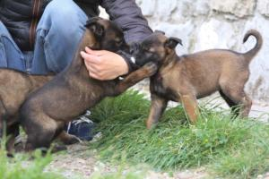 Belgian-Malinois-Puppies-BTWW-H-Litter-180319-0113