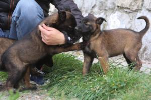 Belgian-Malinois-Puppies-BTWW-H-Litter-180319-0114