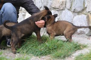 Belgian-Malinois-Puppies-BTWW-H-Litter-180319-0116