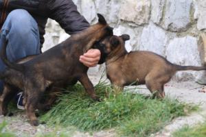 Belgian-Malinois-Puppies-BTWW-H-Litter-180319-0117