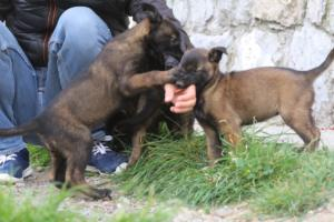 Belgian-Malinois-Puppies-BTWW-H-Litter-180319-0118