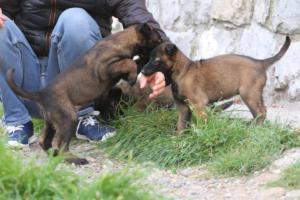 Belgian-Malinois-Puppies-BTWW-H-Litter-180319-0119