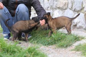 Belgian-Malinois-Puppies-BTWW-H-Litter-180319-0120